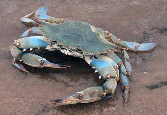 Blue crabs are commonly trapped in Florida waters, but those who own traps must now register online before fishing.